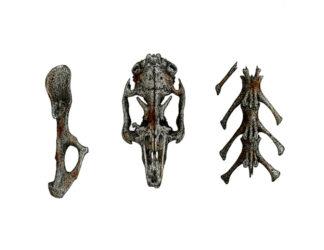 Kangaroo skeleton
