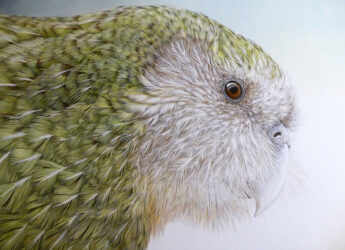 Kakapo, New Zealand night parrot