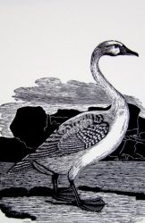 Homage to Bewick and his swan