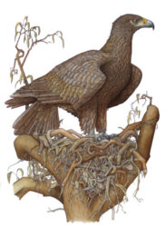 Wedge-tailed Eagle with nest