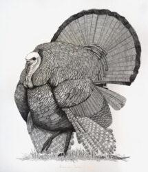 American turkey in Paris
