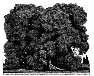 Tree – Mildura
