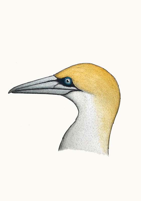 Portrait of an Australasian Gannet