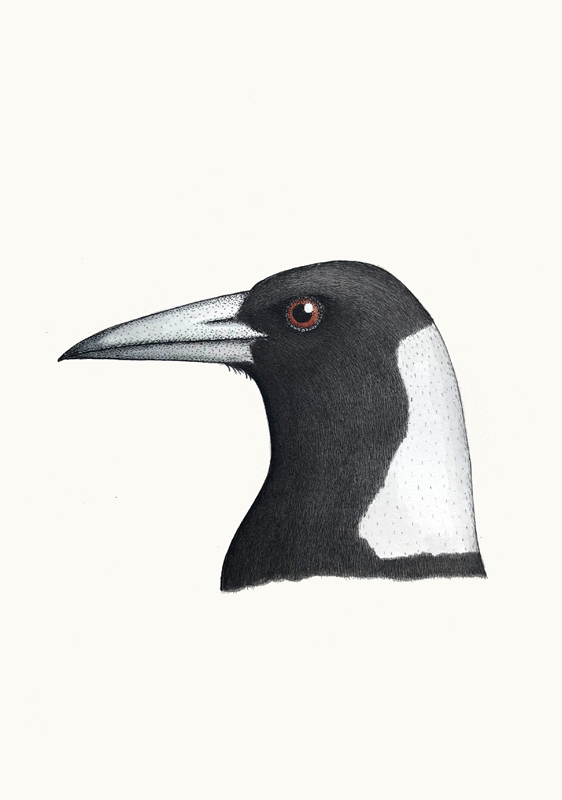 Portrait of an Australian Magpie