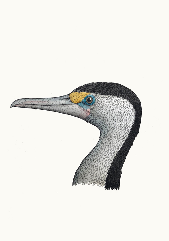 Portrait of  a Pied Cormorant