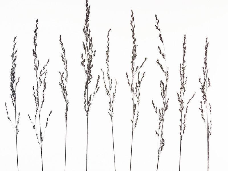 Grass XII