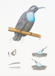 Magnificent Riflebird
