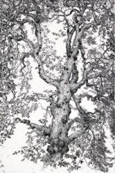 Owl tree, Elm