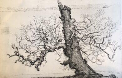 Nigg tree, Elm