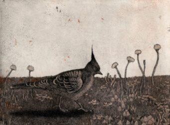Crested pigeon II