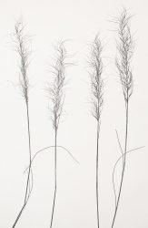 Grass-white