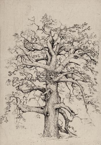 Pansanger Oak