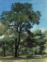 She oaks in the sunshine, Rushcutters Bay