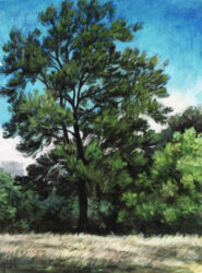She oak in summer, Rushcutters Bay
