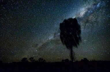 Desert oak