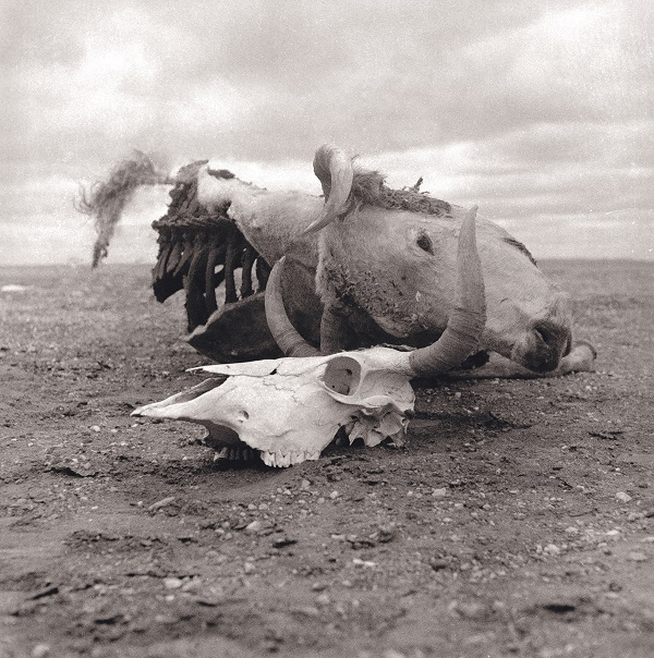 Untitled (cow carcass and cow skull)
