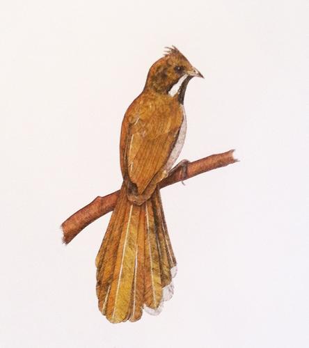 Western Whipbird