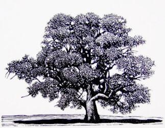 Mueller's tree