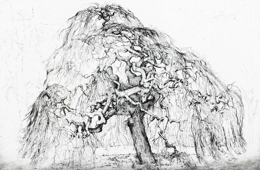 Weeping tree, Elm