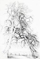 Corner tree, Beech/Elm