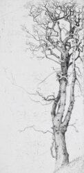 Sight tree, Elm
