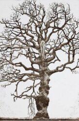 Bluenose tree, Oak