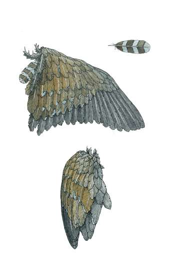 Native Hen's wing
