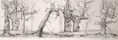 Sutor trees I, Sweet chestnut