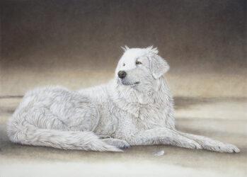 Maremma Guard Dog