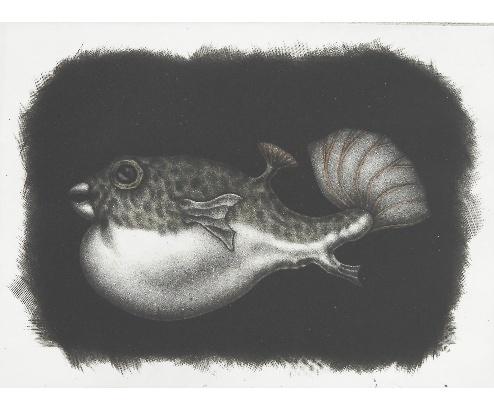 Pufferfish 1