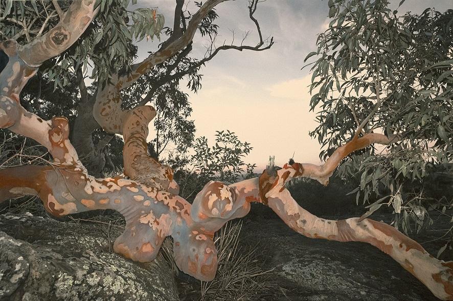 Reclining Angophora 3