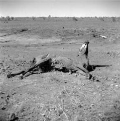 Untitled (horse carcass on ground)