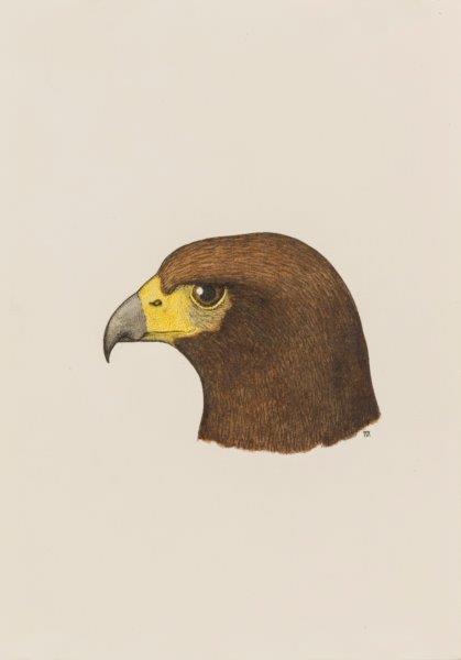 Harris hawk portrait