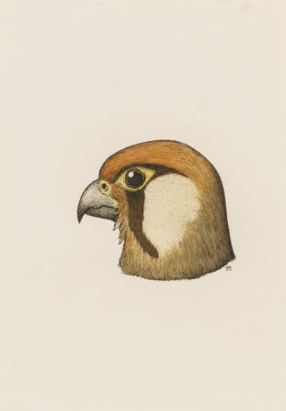 Common kestrel portrait