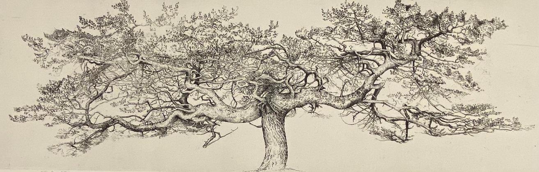 Alislairs pine – ardshare